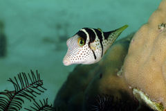 Black-saddled Sharpnose Puffer, Kapalai Island, Sabah Royalty Free Stock Photo