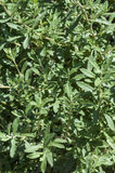 Black sage bush Royalty Free Stock Images
