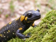 Black salamander Stock Image