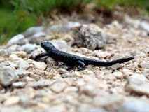 Black salamander on pebbles Stock Image