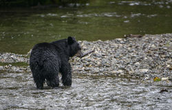 Black salmon. A black bear caught a salmon in a remote creek in the Tongass national forest, Alaska Stock Photography