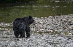 Black salmon Stock Photography
