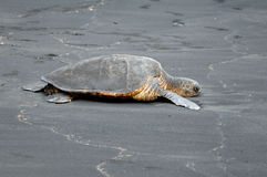 Black Sand Beach Turtle royalty free stock photography