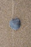 Black scallop 'Pectinidae' shell Royalty Free Stock Photo
