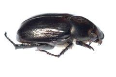Black scarab beetle Royalty Free Stock Photo