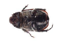 Black scarab beetle Stock Photography