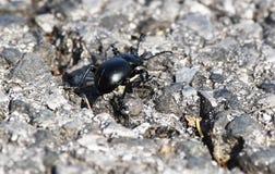 Black scarab royalty free stock images