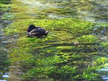 A Black Scaup Resting on Crystal Clean Water. With Refreshingly Green Aquatic Plants Royalty Free Stock Image