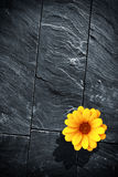 Black Schist Flower. Fraction of a black schist wall with with a single yellow flower Stock Photos