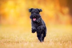 Black Schnauzer dog in fall stock images