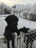 Black schnauzer. Dogs behind the fence in winter garden Royalty Free Stock Image