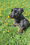 Black schnauzer Stock Photography