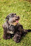 Black Schnauzer Royalty Free Stock Photography