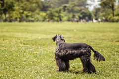 Black Schnauzer. Resting on the ground Royalty Free Stock Images