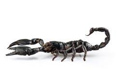 Black scorpio species Heterometrus cyaneus. From Java island in Indonesia isolated on white background royalty free stock photography