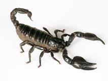 Black scorpion. Royalty Free Stock Image