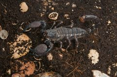 Black scorpion Stock Photography