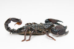 Black scorpion Royalty Free Stock Images