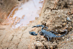 Black scorpion Royalty Free Stock Images