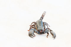 Black scorpion. Royalty Free Stock Photos