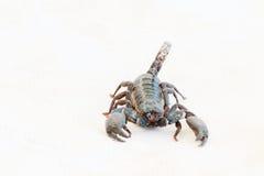 Black scorpion. Royalty Free Stock Photos