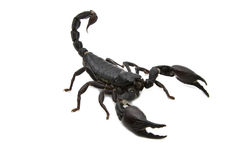Black Scorpion in combat position. Isolate royalty free stock photos