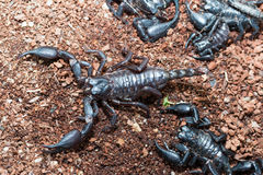 Black Scorpion. On the ground stock photography