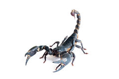 Black scorpion Stock Images