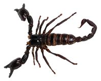 Black scorpion isolated on white background PANDINUS LONGIMANUS.  royalty free stock photography
