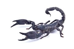 Black scorpion ready to fight. Isolated on white background, Giant forest scorpions, Emperor Scorpion royalty free stock photography