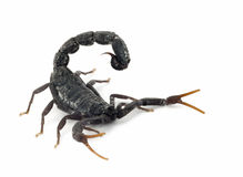 Black scorpion ready to strike. Isolated on white stock image