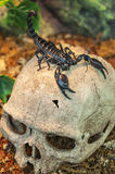 Black scorpion on skull Royalty Free Stock Photography