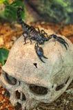 Black scorpion on skull Royalty Free Stock Photography