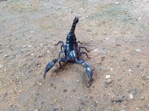 The black scorpion on soil Royalty Free Stock Photos