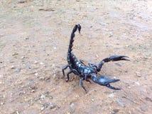 A black scorpion on soil floor Royalty Free Stock Photos