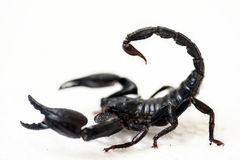 Black scorpion. On white background royalty free stock photo