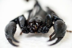 Black scorpion. On white background stock photography