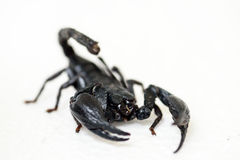 Black scorpion. On white background royalty free stock images