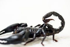 Black scorpion. On white background stock image