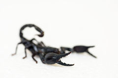 Black scorpion. On white background royalty free stock image
