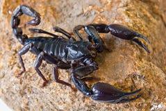 black scorpionen Arkivbilder