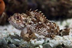 Free Black Scorpionfish (Scorpaena Porcus). Royalty Free Stock Image - 70081596