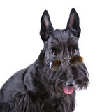 Black Scotch terrier Stock Photo