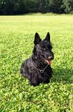 Black scotch-terrier on a lawn stock photos