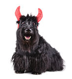 Black scotch terrier Stock Images