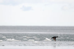 Black Scoter over the icy sea Royalty Free Stock Photography