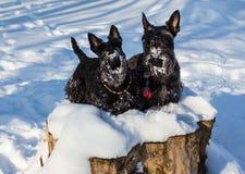 Black Scotish Terrier like snow weather royalty free stock image