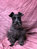 Black Scottest Terrier Royalty Free Stock Photography