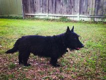 Black Scottie dog in the backyard. Small Scottish Terrier dog outside on grass Royalty Free Stock Photo