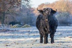 Black scottish highlander cow in winter landscape Royalty Free Stock Photography